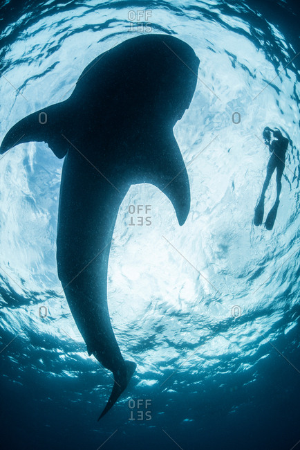 View from below of snorkeler with great shark (rhincodon typus), Cozumel island, Mexico