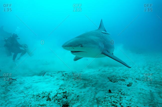 Diver and bull shark (carcharhinus leucas) Playa del Carmen, Quintana Roo. Mexico