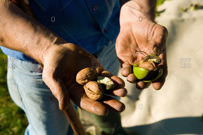 Man harvesting walnuts, holding walnuts and husks in his hands
