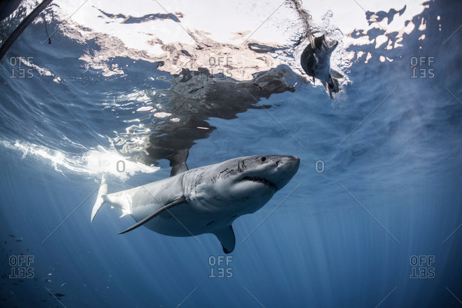 White shark approaches a piece of bait in front of a cage placed for divers, Guadalupe island, Mexico