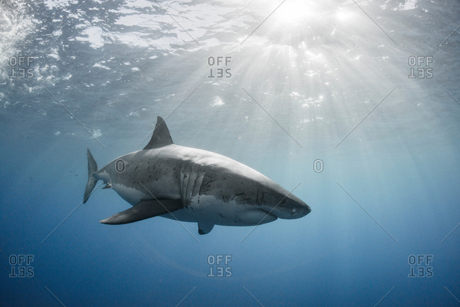 White shark cruising around the crystal blue water of Guadalupe Island, Mexico