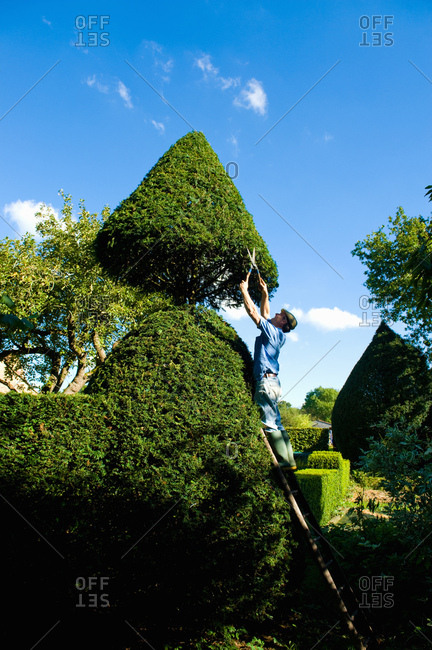 Man on top of ladder trimming ornamental hedge with garden shears