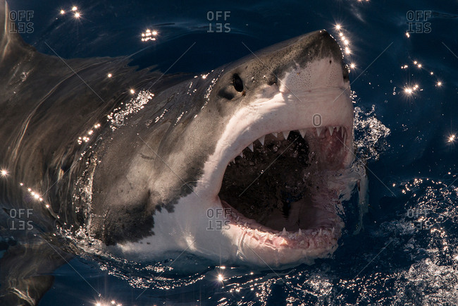 White shark misses a piece of bait and breaks the surface with mouth wide open, Guadalupe Island, Mexico