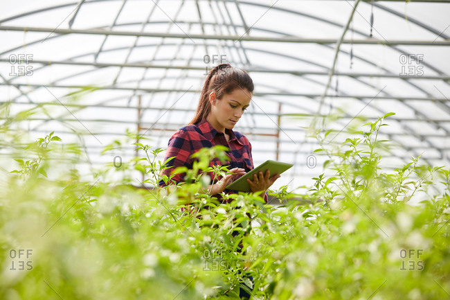 Woman in polytunnel using digital tablet