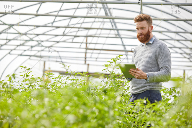 Man in polytunnel using digital tablet