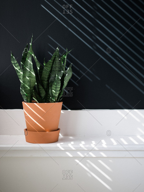Snake plant against wall with sunlight