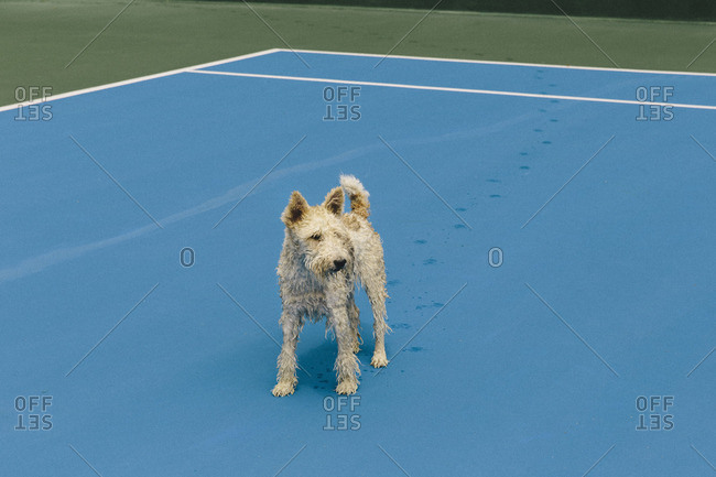 Wet dog on tennis court
