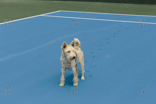 Wet dog on tennis court