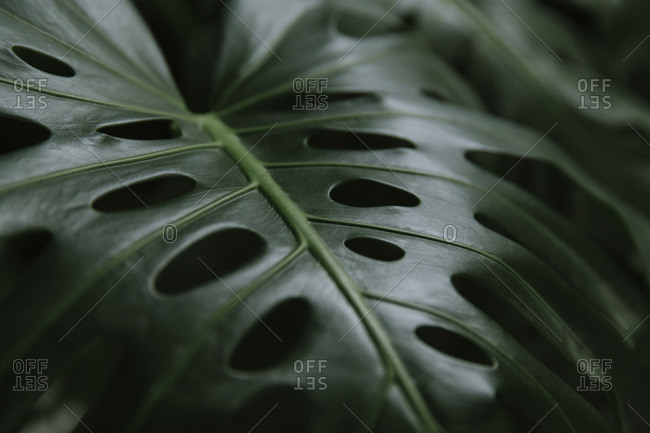 Close up of monstera plant leaf