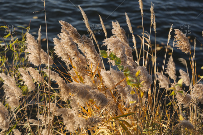 Fuzzy cattails by a lake