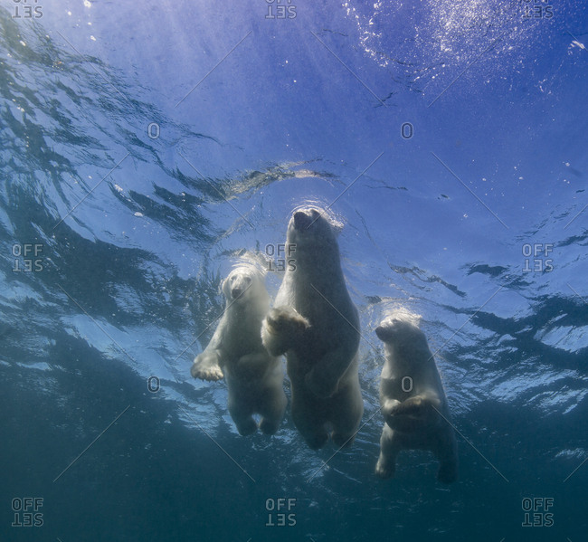 Swimming polar bears, mother and two cubs