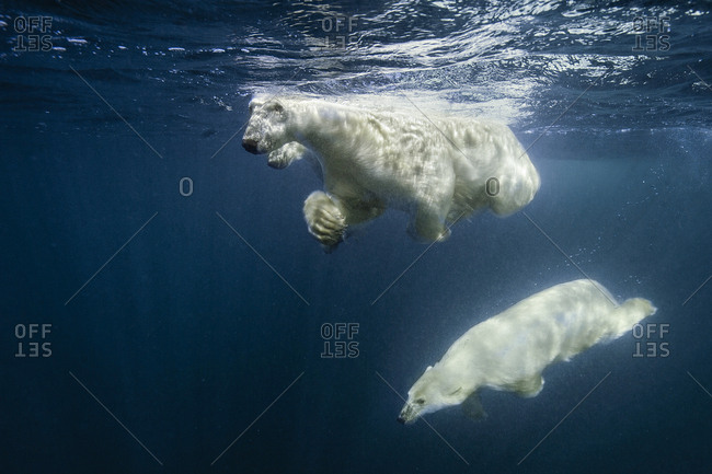 Swimming polar bears, mother and two cubs. Young cub diving downward