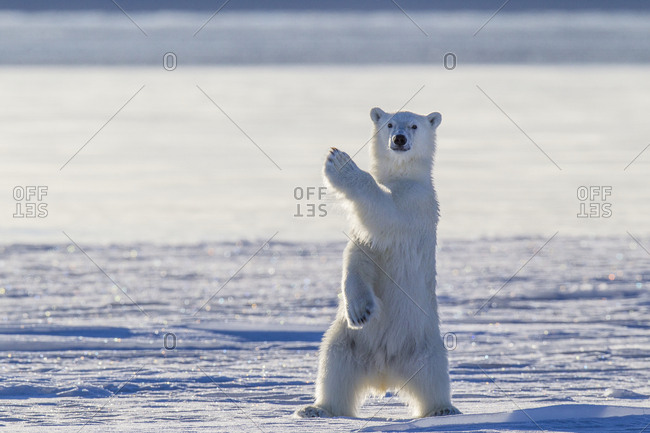Polar bear behavior - Offset Collection