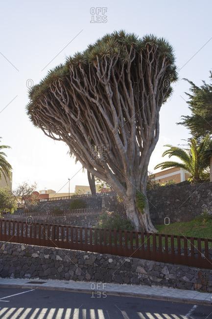 Spain, Isle of La Palma. A big tropical tree on La Palma.