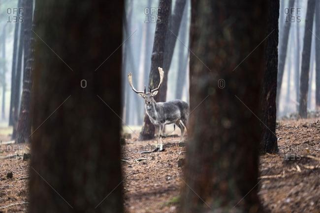 Fallow deer buck in rainy pine tree forest.