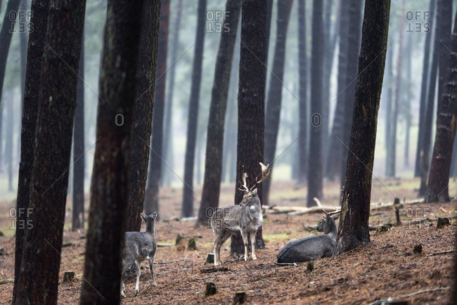 Herd of fallow deer in rainy pine tree forest.