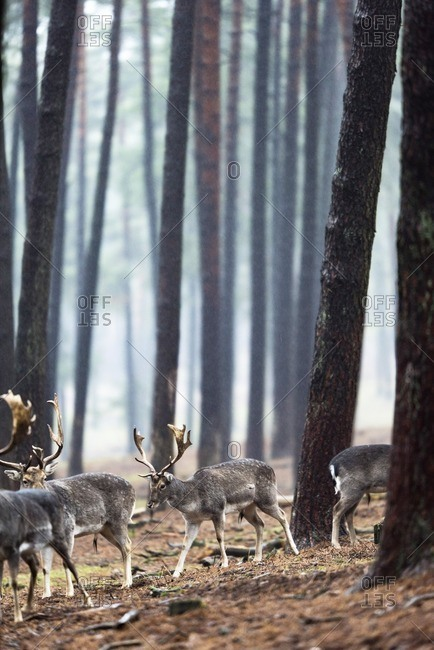 Group of fallow deer in rainy forest.