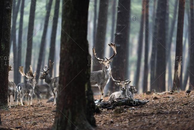 Herd of fallow deer in rainy pine tree forest.