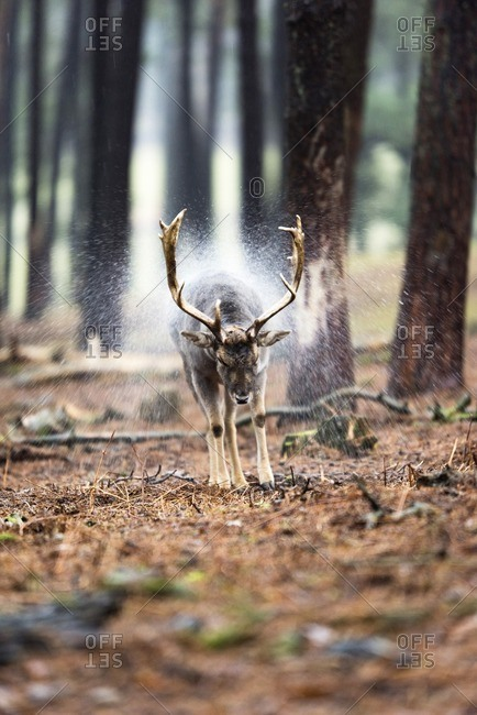 Fallow deer buck shaking off rainwater from fur.