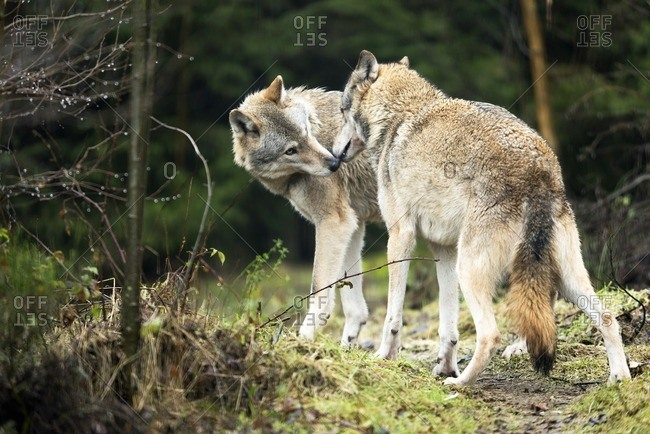 Two wolves sniff each other's noses.