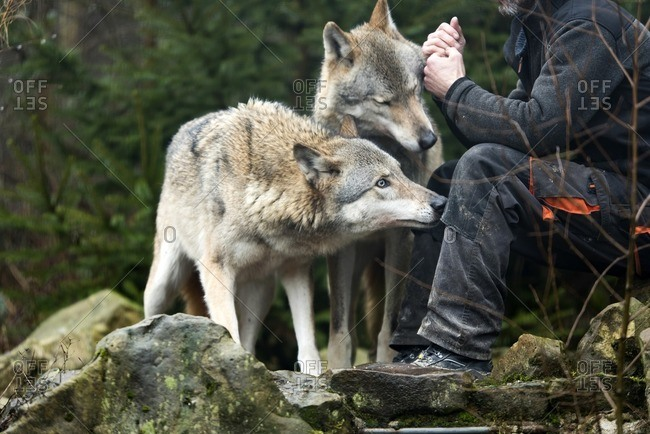 January 11, 2017: Wolf trainer sitting on rocks with two wolves.
