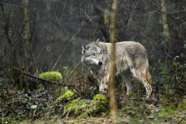 Solitary wolf standing in rainy forest.