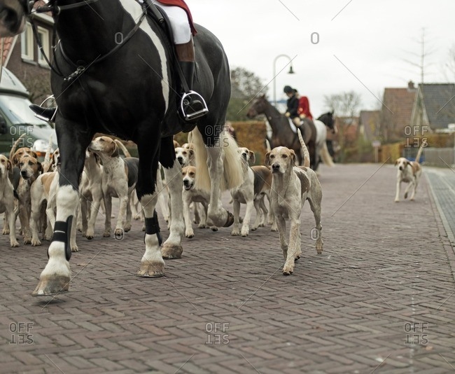 Herd of dogs following man on horse at start of drag hunting. Geesteren. Achterhoek. Gelderland. The Netherlands.