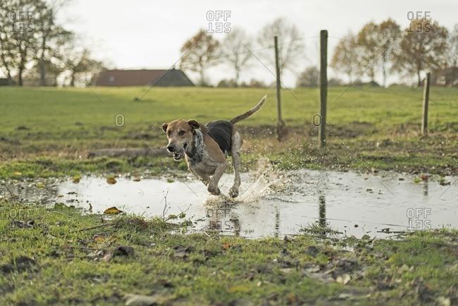 Hound in field running through puddle during drag hunting. Geesteren. Achterhoek. Gelderland. The Netherlands.