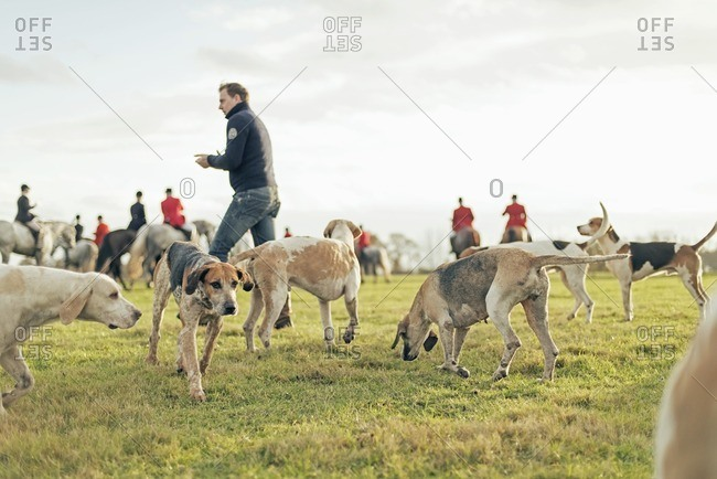 Geesteren, Achterhoek, Gelderland, The Netherlands - November 19, 2016: Hounds gathering in field at the finish of drag hunt.