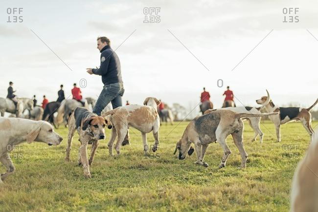 Geesteren, Achterhoek, Gelderland, The Netherlands - November 19, 2016: Hounds gathering in field at the finish of drag hunt.