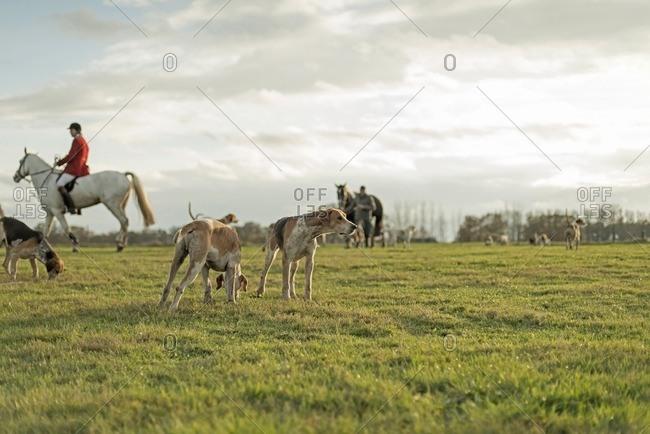 Horse riders and hounds together in field at fisnish of drag hunt. Geesteren. Achterhoek. Gelderland. The Netherlands.