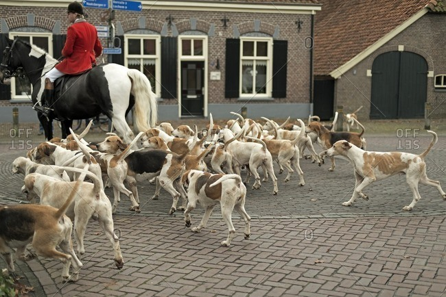 Geesteren, Achterhoek, Gelderland, The Netherlands - November 19, 2016: Man horse riding with herd of dogs in village at start of drag hunting.