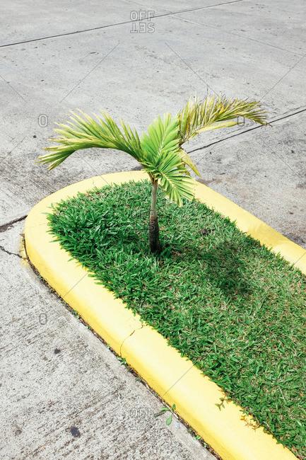 Mini palm tree on the street in Monteverde, Costa Rica