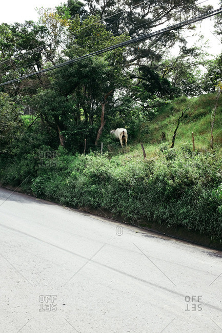 Cow in the forest in Monteverde, Costa Rica