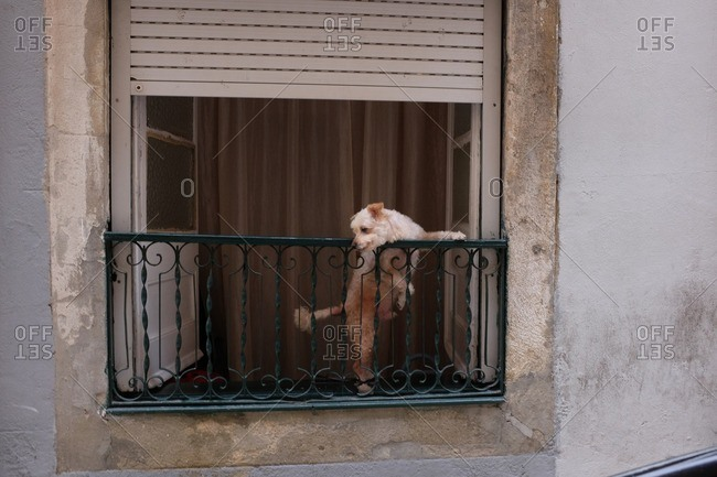 Dog looking out the window in Lisbon, Portugal