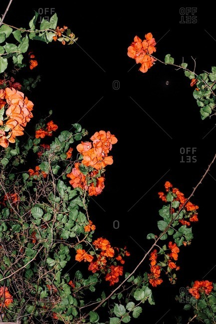 Flowers at nighttime