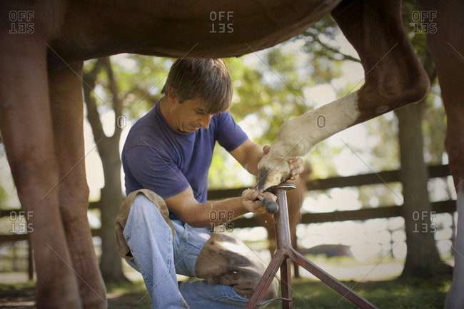 Farrier putting a new horseshoe on a horse.