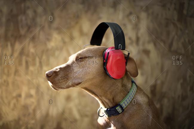 Dog wearing headphones.