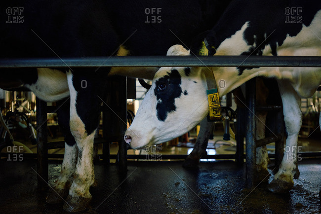 Close-up of black and white dairy cow standing in cowshed with other cattle and waiting for milking on automatic machine