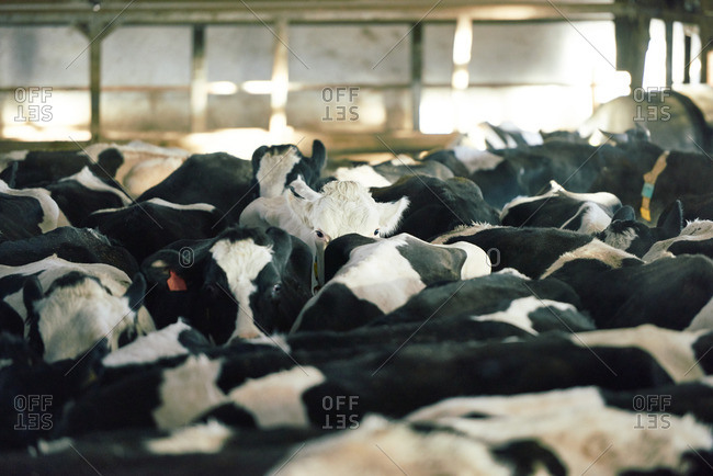 Crowd of black and white milk cows standing in cowshed and waiting for food