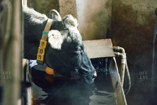 Profile view of Holstein cow in yellow collar bending down to feeding bunk and drinking water from it