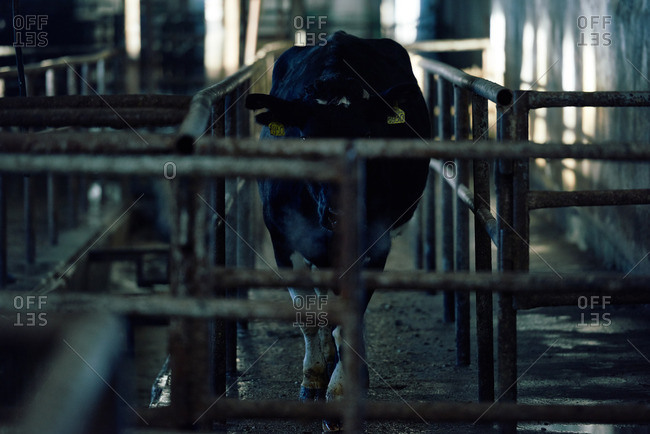 Holstein dairy cow with ear tags entering dusky shabby barn after walk