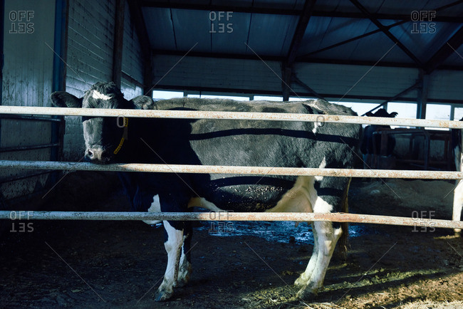 Portrait of Holstein Friesian cow standing behind metal rusty bars in barn