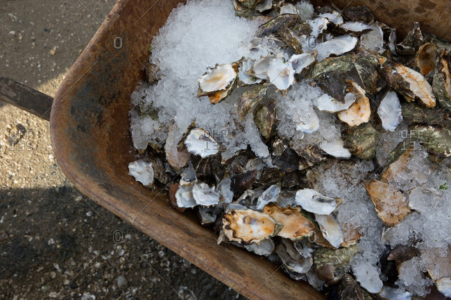 Wheelbarrow full of oyster shells and ice