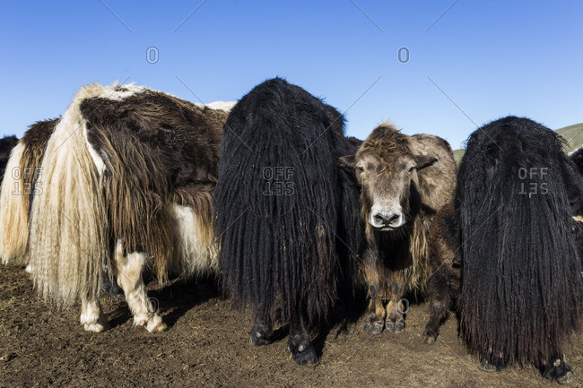 Some yaks in the Mongolian steppe, Mongolia