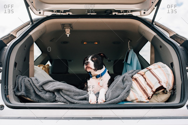 Black and white dog looking out a hatchback of a car