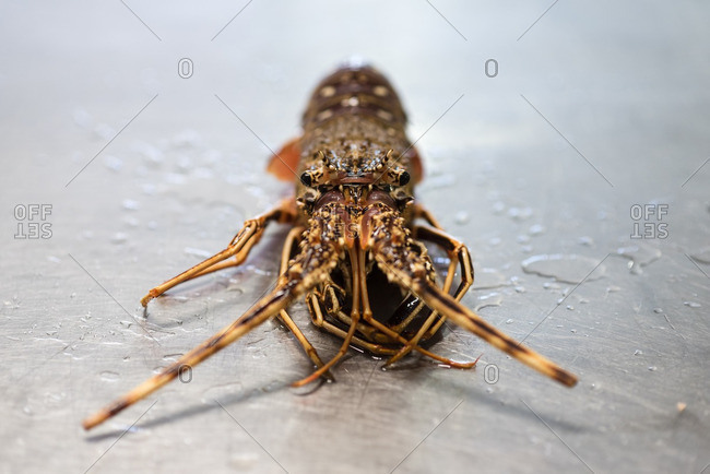 Close up of a lobster on a metal table