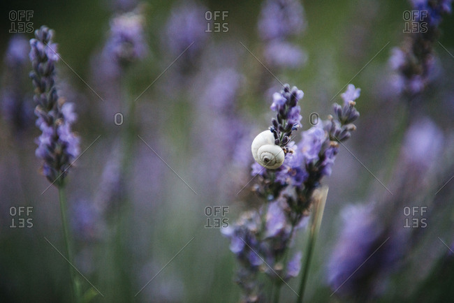 Close up of snail on lavender