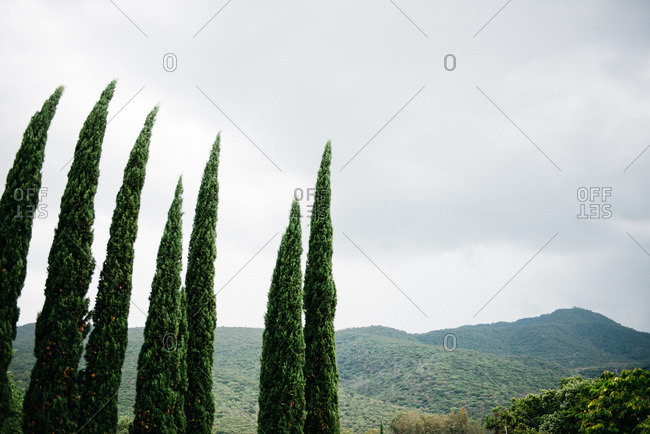 Pine Trees in the mountains of Mexico