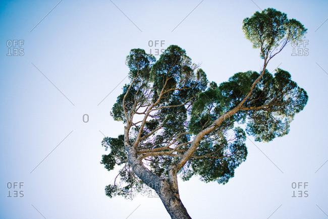 Pine tree in France